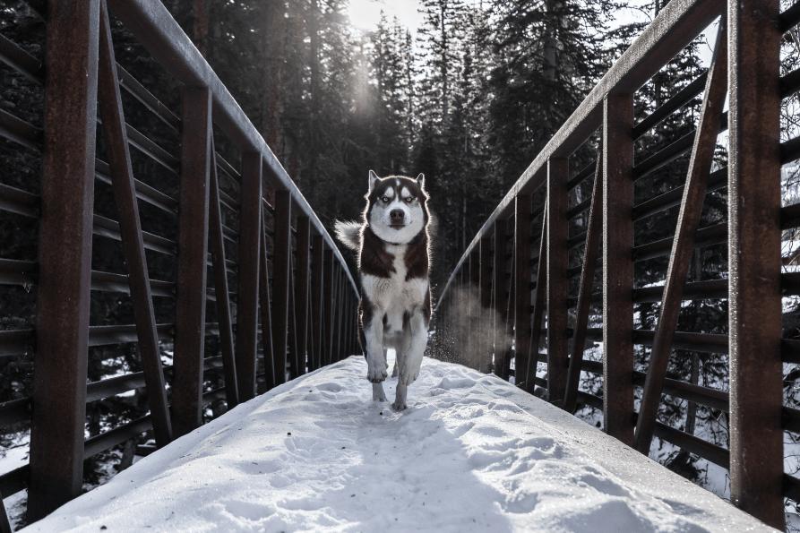 Husky running